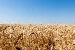 在天空隔绝的成熟金黄麦子 库存图片