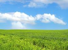 在天空麦子的蓝色域 免版税图库摄影