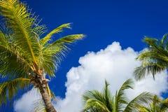 在天空,墨西哥的可可椰子树 免版税库存图片