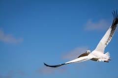 在天空,鲸湾港的巨大白色鹈鹕飞行在纳米比亚 库存图片