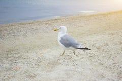 在天蓝色村庄的海岸的海鸥  库存图片