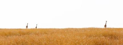 在天际横幅的被隔绝的长颈鹿 免版税库存图片