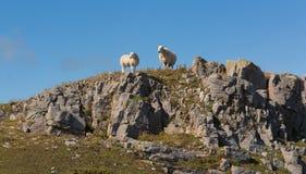 在天际的两只威尔士绵羊在岩石山坡Gower南威尔士英国 图库摄影
