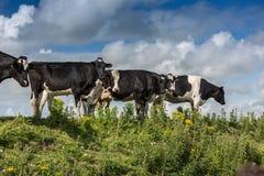 在天际的母牛 库存照片