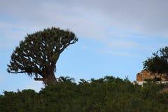 在天际的老树 免版税库存图片