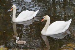 在天鹅夫妇之间的逗人喜爱的小天鹅 免版税库存照片