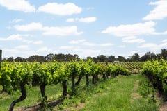 在天鹅河,西澳州附近的葡萄园 库存照片