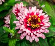 在天鹅湖和虹膜庭院的火百日菊属 库存图片