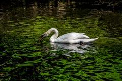 在天鹅湖和虹膜庭院的白色天鹅 免版税库存图片