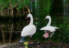 在天鹅湖和虹膜庭院的白色鹅 免版税库存图片