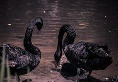 在天鹅湖和虹膜庭院的黑天鹅 免版税库存图片
