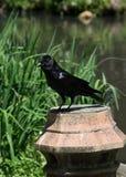 在天鹅湖和虹膜庭院的黑鸟 库存图片