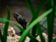 在天鹅湖的乌龟 免版税库存图片