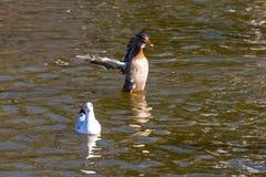 在天鹅湖,阿斯特拉罕,俄罗斯的鸟 免版税库存图片