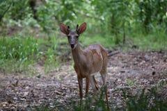 在天鹅绒的一个白被盯梢的鹿大型装配架 图库摄影