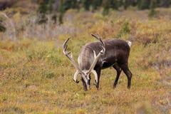 在天鹅绒的北美驯鹿公牛 免版税库存照片