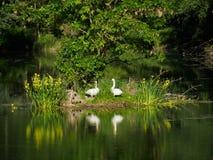 在天鹅` s家庭的看法在绿色海岛上 库存照片
