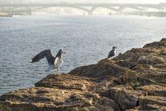 在太平洋的墨西哥湾海岸的岩石的鸥在市Salé (摩洛哥) 库存图片