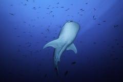 在太平洋的Whaleshark 库存照片