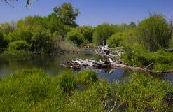 在太浩湖附近的沼泽 免版税库存图片