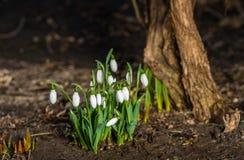 在太阳下光的Snowdrops  免版税图库摄影