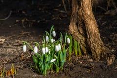 在太阳下温暖的光的Snowdrops  库存图片