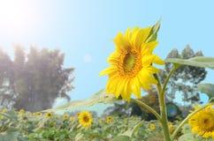 在太阳下的向日葵 库存图片