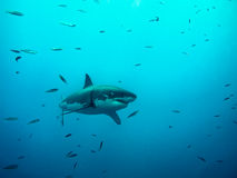 在太阳下的大白鲨鱼游泳在小鱼中发出光线 免版税库存照片