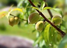 在太阳下的小的桃子 库存照片