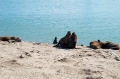 在太阳下的海狼 库存照片