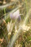 在太阳下的狂放的紫色花 免版税库存照片