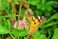 在太阳下的蝴蝶urtikaria 免版税库存图片