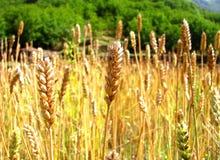 在太阳下的金黄麦田 免版税库存照片