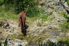 在太阳下的马饮用水 免版税库存照片