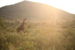 在太阳充满的消极空间的长颈鹿 图库摄影