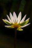 在太阳光下的莲花与bokeh在黑暗的背景,被聚焦的软性中 图库摄影