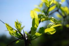 在太阳光的叶子 免版税图库摄影