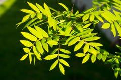 在太阳光的新鲜的叶子 图库摄影