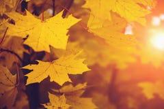 在太阳光的秋叶 秋天弄脏了背景,选择聚焦,黄色季节概念 免版税库存照片