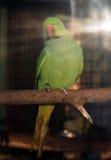 在太阳光芒的绿色鹦鹉Psittacula krameri 库存照片