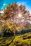 在太阳前面的大树 图库摄影