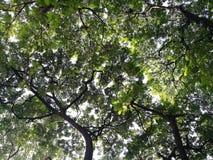 在太阳和天空在公园,曼谷泰国下的大树 免版税库存照片
