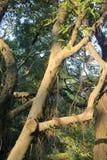 在太阳曝光下的榕树 库存图片