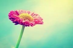 在太阳火光的新鲜的雏菊花 淡色,葡萄酒 库存照片