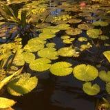 在太阳照亮的池塘把百合留在 免版税库存照片