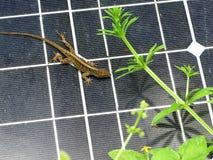 在太阳电池板的蜥蜴 库存图片