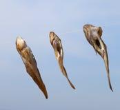 在太阳的三条虾虎鱼鱼干燥 免版税图库摄影