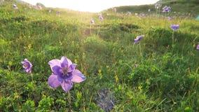 在太阳的光芒的美丽的紫色aquilegia花