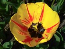 在太阳的光芒的黄色郁金香 免版税库存照片