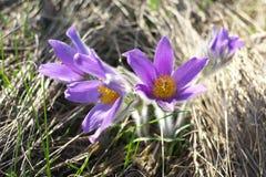 在太阳的光芒的紫色毛茸的花 免版税库存照片